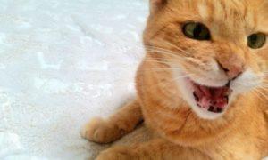 猫、鳴く、口