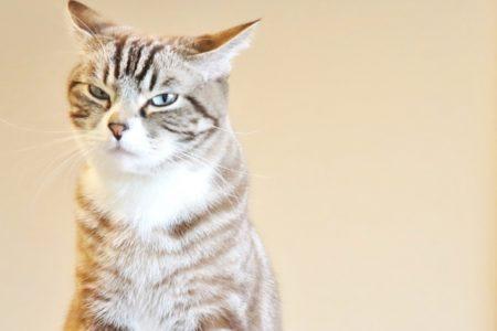 猫,不機嫌