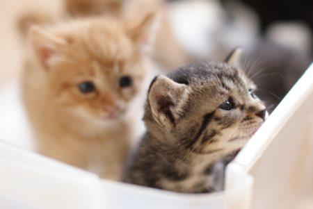 猫,ペット