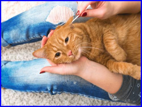 猫,耳掃除,綿棒