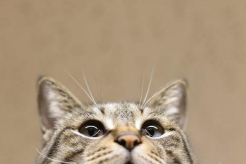 猫,アップ