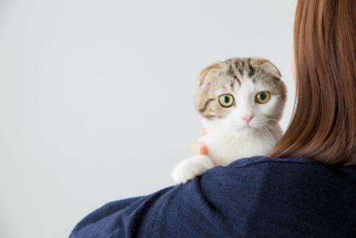 猫,スコティッシュフォールド