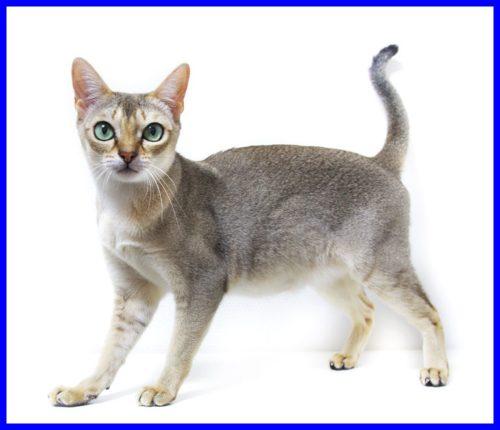 シンガプーラ,猫