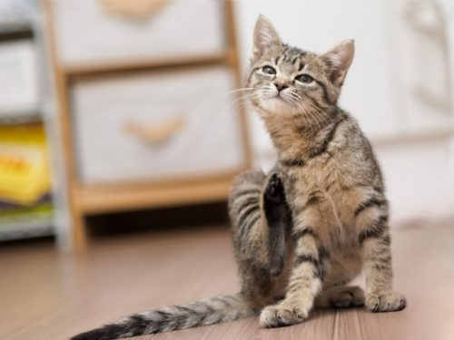 猫,かゆい