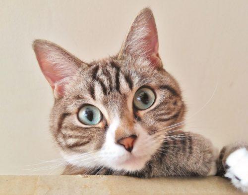 猫,大きい目
