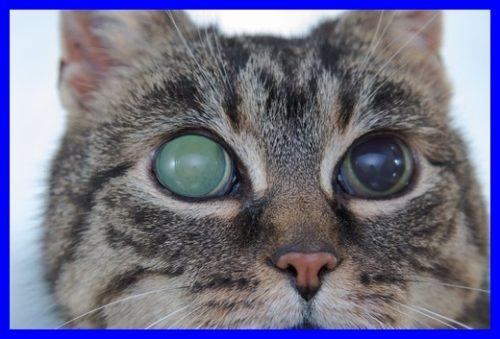 猫,緑内障