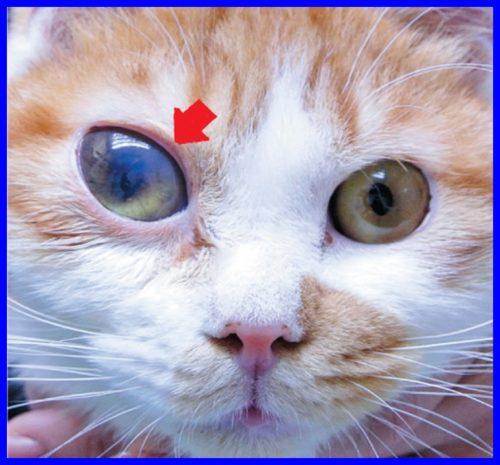 猫,角膜分離症