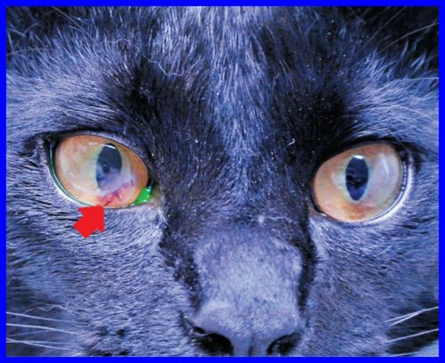 猫,角膜穿孔