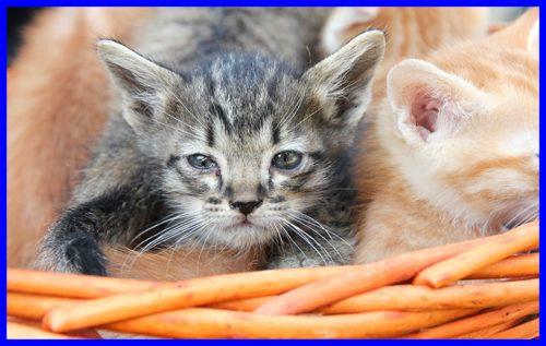 猫,角膜炎