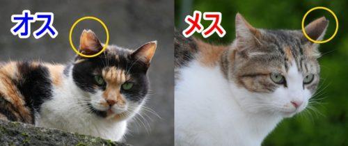 猫,さくら耳,オス,メス