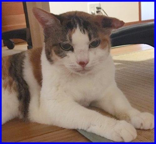 猫,耳血腫
