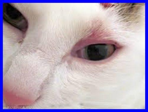 猫,眼瞼炎