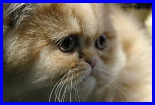 猫,流涙症
