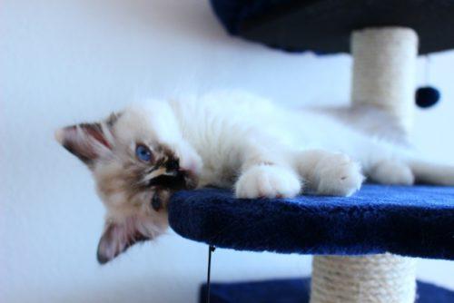 猫,キャットタワー