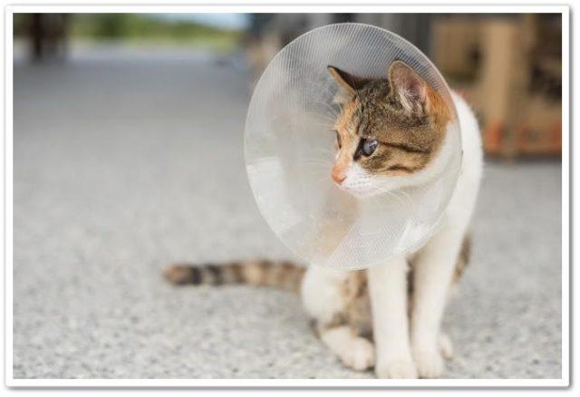 猫,エリザベスカラー