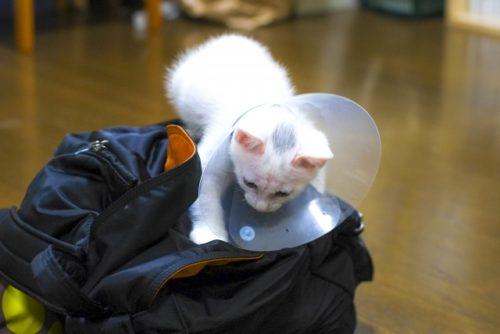 エリザベスカラー,猫