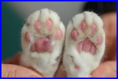 猫,形質細胞皮膚炎