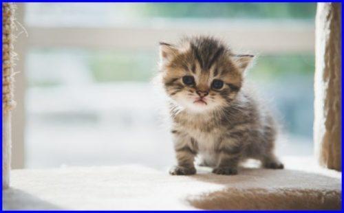 スコティッシュフォールド,子猫