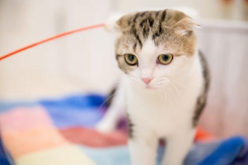 猫,耳折れ