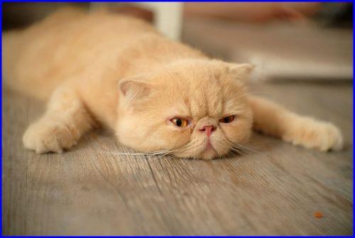 猫,鼻ぺちゃ