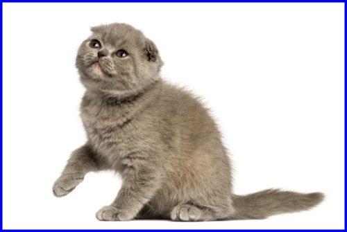 猫,フォールデックス