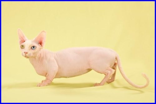 猫,ミンスキン