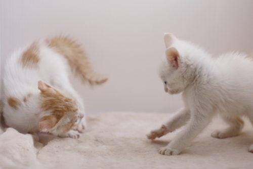 子猫,ニャンプロ