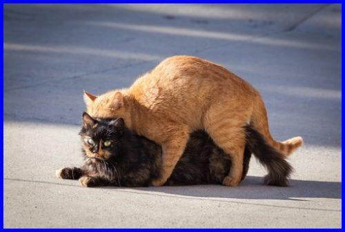 猫,マウンティング