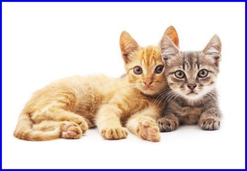 ペットモデル,猫