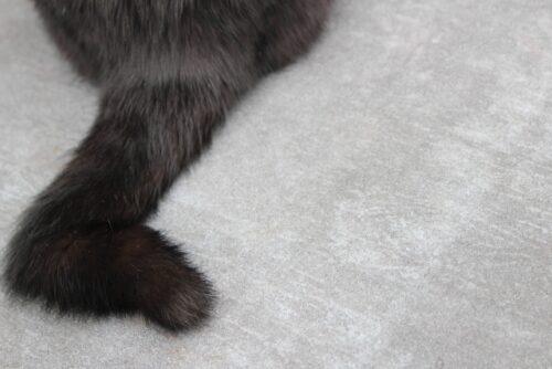 猫,かぎしっぽ