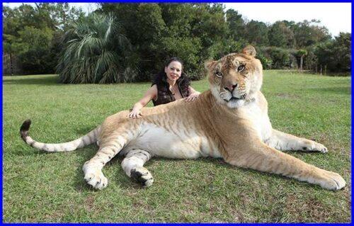 世界一大きい猫